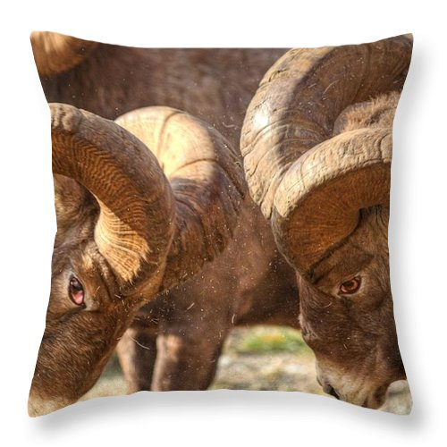Bighorn Ram Throw Pillow featuring the photograph After Impact by James Anderson