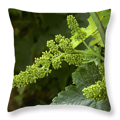 Agriculture Throw Pillow featuring the photograph Agriculture - Cluster Of Wine Grape by Jack Clark
