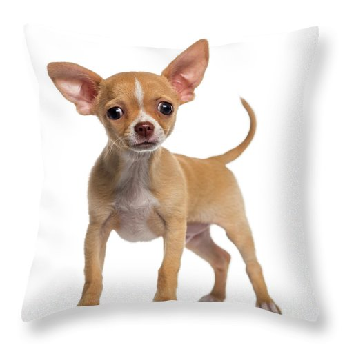 Pets Throw Pillow featuring the photograph Alert Chihuahua Puppy 3 Months Old by Life On White