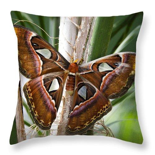 Atlas Moth Throw Pillow featuring the photograph An Atlas Moth by Saija Lehtonen