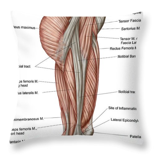 Anatomy Of Human Thigh Muscles Throw Pillow For Sale By Stocktrek Images