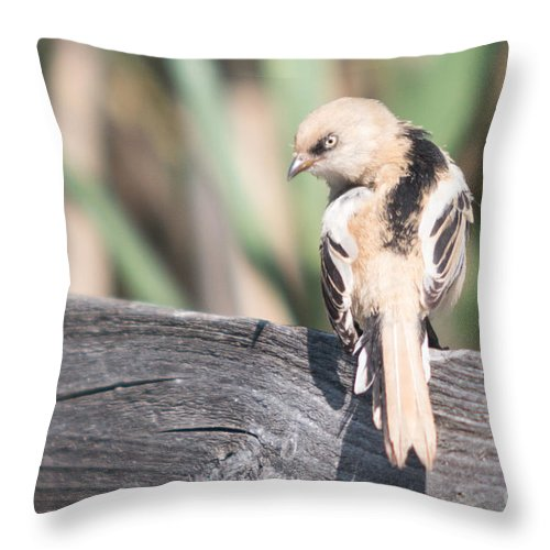 Bulgaria Throw Pillow featuring the photograph Angry Bird Bearded Reedling Juvenile by Jivko Nakev