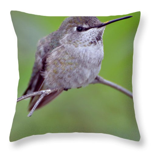 A Common Hummingbird Found In Southern Arizona. Throw Pillow featuring the photograph Anna's Hummingbird by Barbara Manis