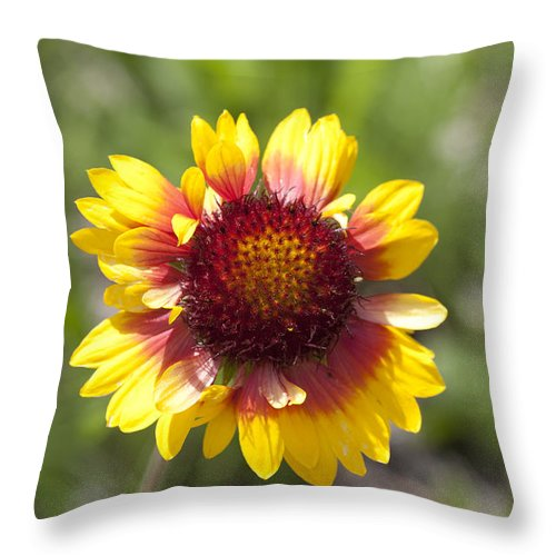 Mp Throw Pillow featuring the photograph Annual Coreopsis by Matthias Breiter