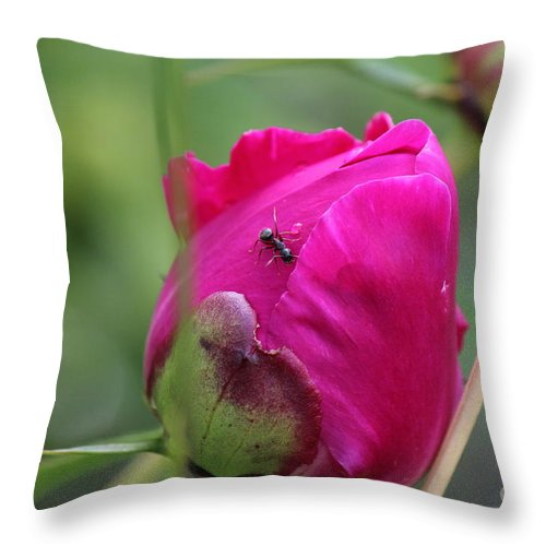 Peony Throw Pillow featuring the photograph Ant On Peony by Ann E Robson