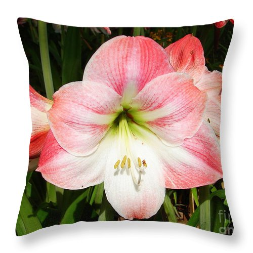 Amaryllis Throw Pillow featuring the photograph Apple Blossom Amaryllis by Lew Davis