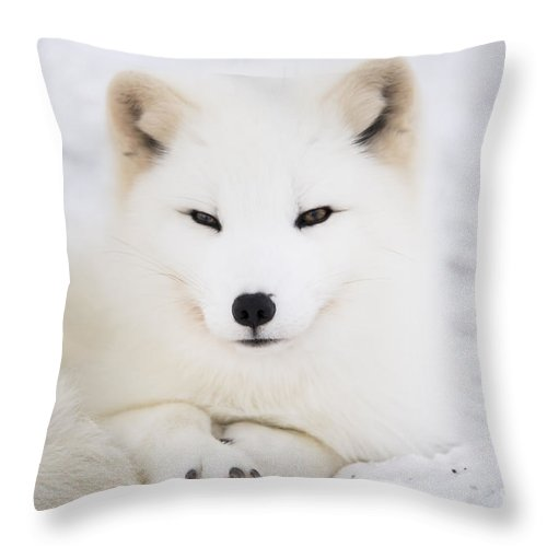 Arctic Throw Pillow featuring the photograph Arctic Fox Resting In The Snow by Gry Thunes