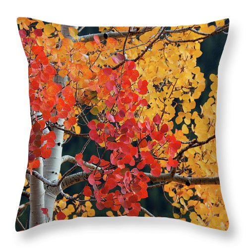Aspen Throw Pillow featuring the photograph Aspen Reds by Jim Garrison