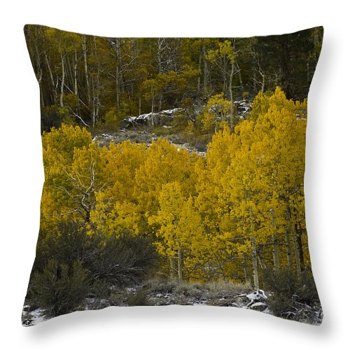 Quaking Aspen Throw Pillow featuring the photograph Aspens In Snow by John Shaw