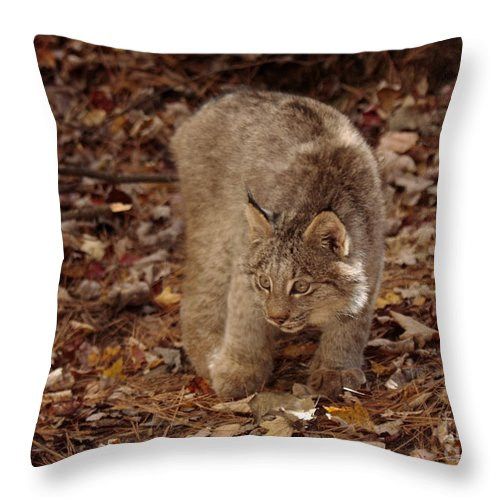 Baby Canada Lynx In An Autumn Forest Throw Pillow featuring the photograph Baby Canada Lynx In An Autumn Forest by Inspired Nature Photography Fine Art Photography