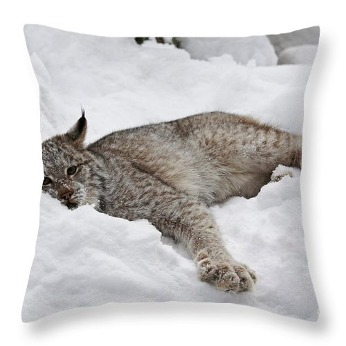 Baby Throw Pillow featuring the photograph Baby Canadian Lynx Laying In The Snow by Inspired Nature Photography Fine Art Photography