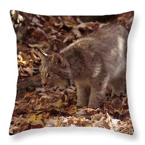 Baby Lynx Hunting In An Autumn Forest Throw Pillow featuring the photograph Baby Lynx Hunting In An Autumn Forest by Inspired Nature Photography Fine Art Photography