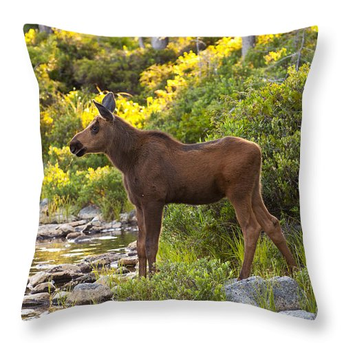 Moose Throw Pillow featuring the photograph Baby Moose Baxter State Park by Glenn Gordon