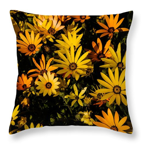 African Daisy Throw Pillow featuring the photograph Beautiful African Daisies by Robert Bales