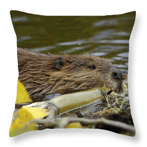Beaver Throw Pillow featuring the photograph Beaver by John Shaw