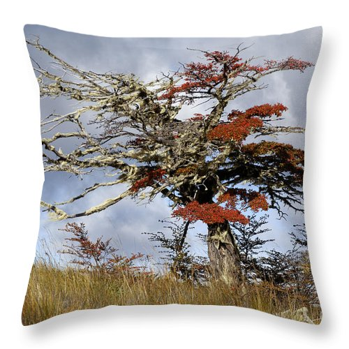 Nothofagus Throw Pillow featuring the photograph Beech Tree, Chile by John Shaw