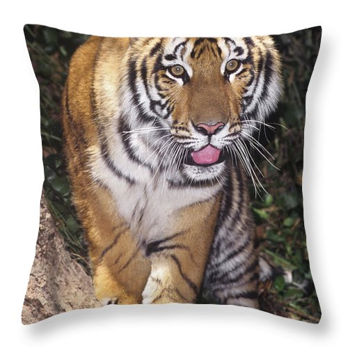 Bengal Tiger Throw Pillow featuring the photograph Bengal Tiger By Tree Endangered Species Wildlife Rescue by Dave Welling