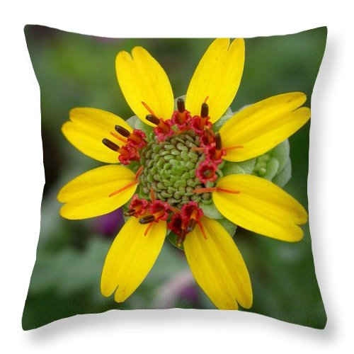 Chocolate Flower Throw Pillow featuring the photograph Berlandiera Lyrata by Cynthia Wallentine