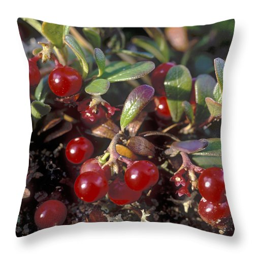 Bacca; Bearberry; Berries; Close-up; Close-up View; Flora; Fruits; Nature; Plant World; Plants Throw Pillow featuring the photograph Berries by Anonymous