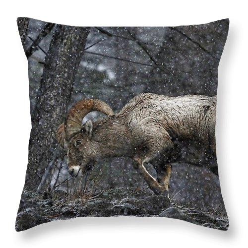 Bighorn Sheep Throw Pillow featuring the photograph Bighorn Caught In A Blizzard by Athena Mckinzie