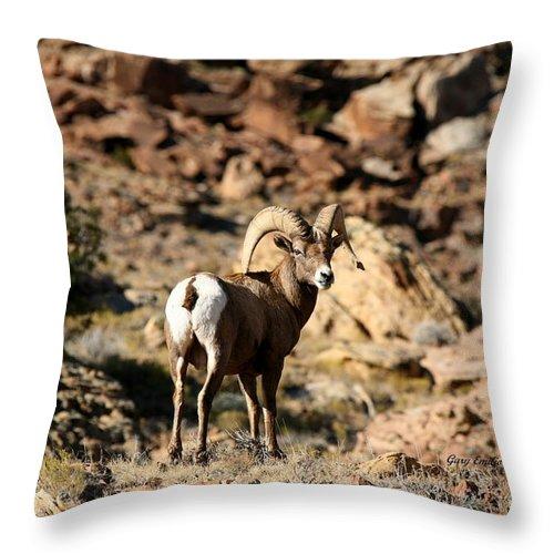 Wildlife Throw Pillow featuring the photograph Bighorn Stare by Gary Emilio Cavalieri
