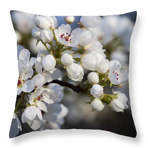 White Throw Pillow featuring the photograph Billows Of Fluffy White Bradford Pear Blossoms by Kathy Clark