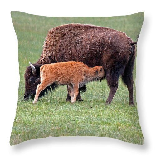 Bison Throw Pillow featuring the photograph Bison Calf Having Breakfast In Yellowstone National Park by Fred Stearns