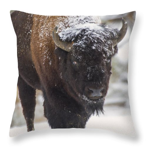 .bison Throw Pillow featuring the photograph Bison In The Snow by Carolyn Fox