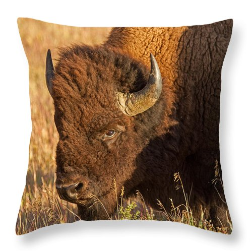 Animal Throw Pillow featuring the photograph Bison Potrait At Teh Elk Ranch In Grand Teton National Park by Fred Stearns