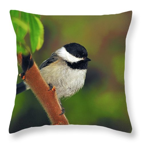 Black-capped Chickadee Throw Pillow featuring the photograph Black-capped Chickadee by Tony Beck