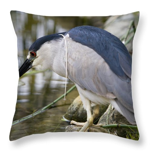 Zoology Throw Pillow featuring the photograph Black-crown Heron Going Fishing by David Millenheft