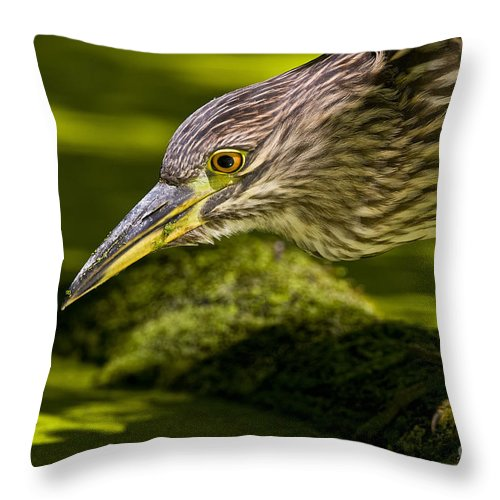 Black Crowned Night Heron Throw Pillow featuring the photograph Black Crowned Night Heron Pictures 115 by World Wildlife Photography