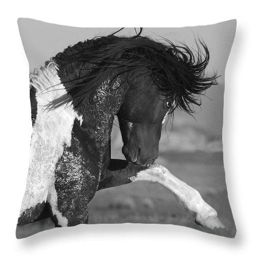 Stallion Throw Pillow featuring the photograph Black Pinto Stallion Strikes Out by Carol Walker