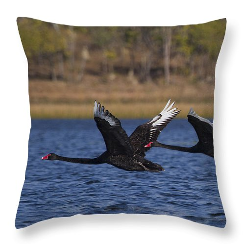 Wildlife Throw Pillow featuring the photograph Black Swans In Flight by Mr Bennett Kent