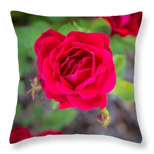 Flower Throw Pillow featuring the photograph Blooming Rose by Andrew Slater