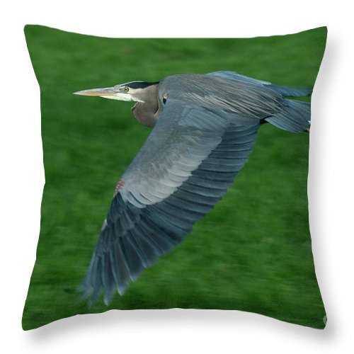 Birds Throw Pillow featuring the photograph Blue Heron by Rod Wiens