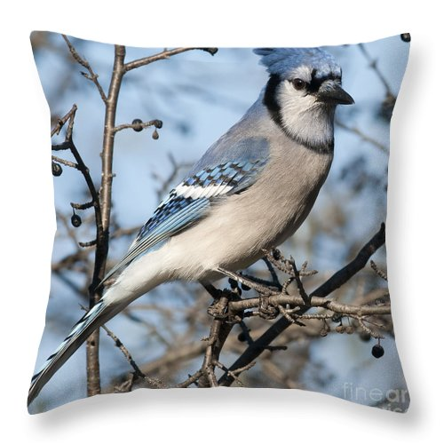 Festblues Throw Pillow featuring the photograph Blue Jay.. by Nina Stavlund