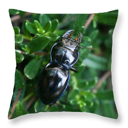 Blue Throw Pillow featuring the photograph Blue Lined Beetle by Douglas Barnett