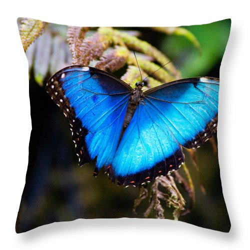 Blue Morpho Butterfly Throw Pillow featuring the photograph Blue Morpho Butterfly by Vanessa Valdes