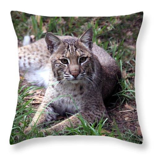 Nature Throw Pillow featuring the photograph Bobcat 17 by Randy Matthews