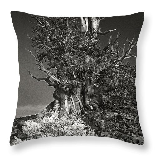 North America Throw Pillow featuring the photograph Bristlecone And Wildflowers In Black And White by Dave Welling