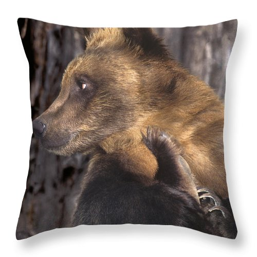 Brown Bear Throw Pillow featuring the photograph Brown Bear Tackles An Itchy Foot Endangered Species Wildlife Rescue by Dave Welling