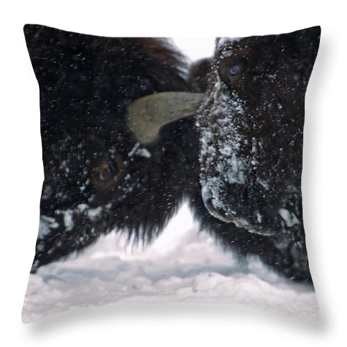 Bovidae Bison Throw Pillow featuring the photograph Buffalo Rut  #0078 by J L Woody Wooden