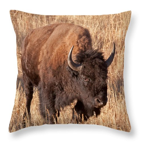 Autumn Throw Pillow featuring the photograph Bull Bison Running In Yellowstone National Park by Fred Stearns