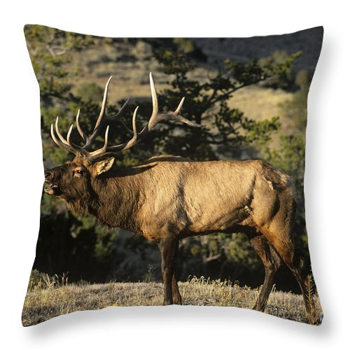 North America Throw Pillow featuring the photograph Bull Elk In Rut Bugling Yellowstone National Park by Dave Welling