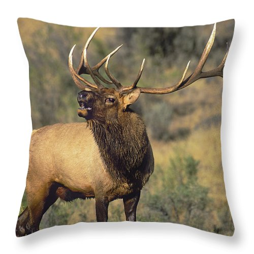 North America Throw Pillow featuring the photograph Bull Elk In Rut Bugling Yellowstone Wyoming Wildlife by Dave Welling
