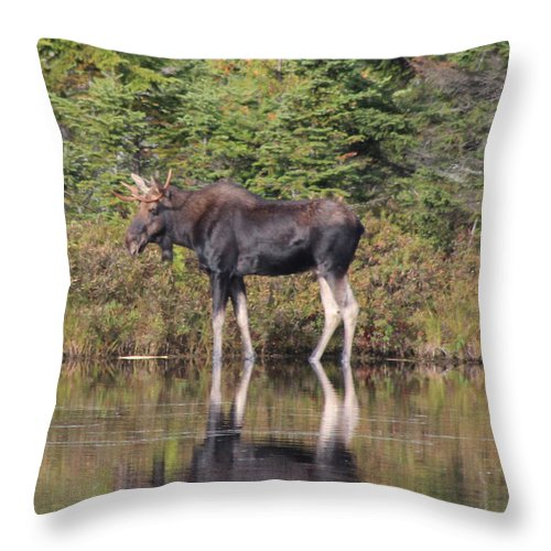 Maine Moose Throw Pillow featuring the photograph Bull Moose 3 by Joseph Marquis