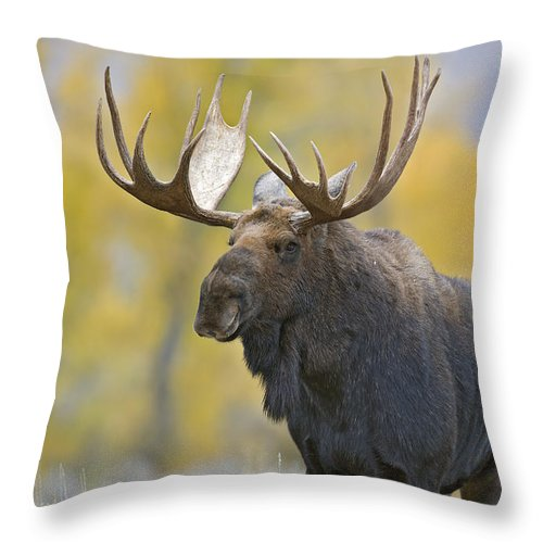 Autumn Throw Pillow featuring the photograph Bull Moose In Autumn by Gary Langley