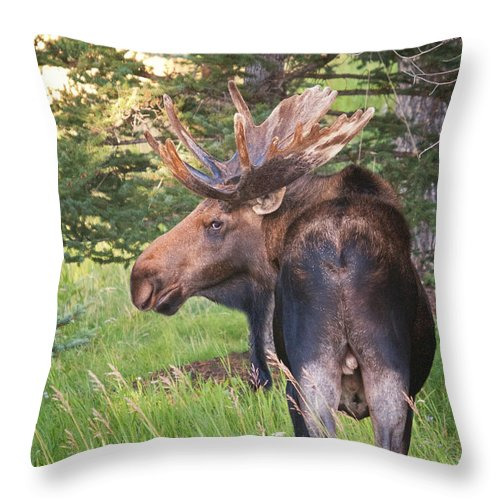 Bull Moose Throw Pillow featuring the photograph Bull Moose Looking Back by Timothy Flanigan and Debbie Flanigan Nature Exposure