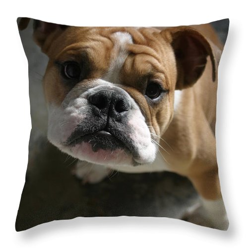 English Throw Pillow featuring the photograph Bulldog Portrait by Victoria Fischer